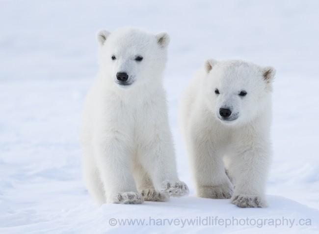 Fotografia naturalistica il primo viaggio di un orso polare - Orsi polari pagine da colorare ...